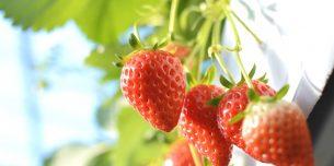 イチゴ 狩り 福岡 安い